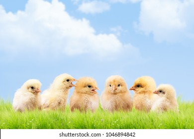 a lot of chickens communicate with each other. Funny and cute Chicks. The concept of a chicken farm. Meeting, dialogue