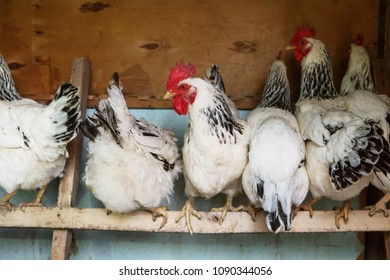 chickens in the coop. Hen in a farmyard. roosters and hens in the hen house