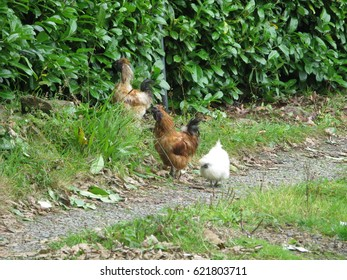 Chickens in Cornwall UK