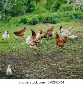 chickens in country yard