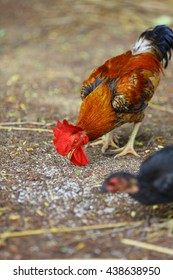 chickens eating rice