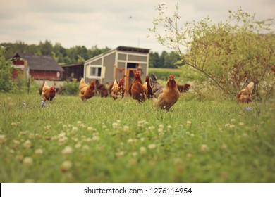 Chickens in a farmers pasture