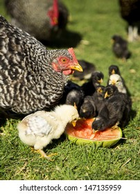 Chickens feasting on watermelon