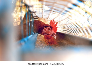 .Chickens in the henhouse.Close up image of chickens in the cage. Ecological farm and free-range hens or farmyard hens
