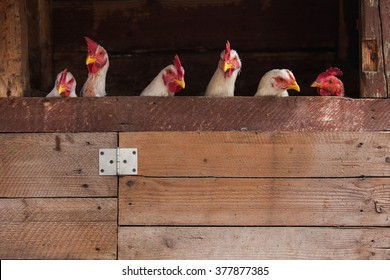 Chickens looking out at a fence