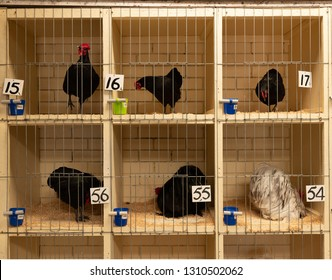 Chickens on display for judging, country show