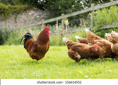 Chickens on a lawn with a cockerel pecking at the grass