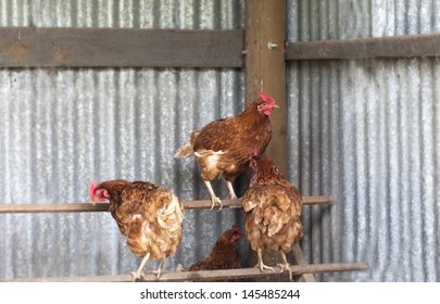 Chickens on perch in hen house with one chicken looking at camera