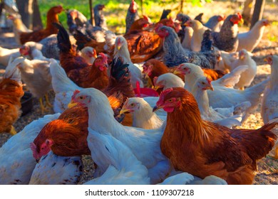 chickens on the poultry farm, organic raised hens