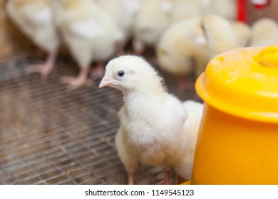 chickens on a small farm