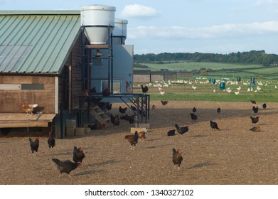 Chickens on traditional free range poultry farm in the Cotswold in the UK