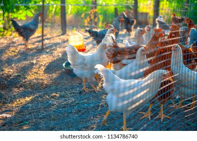 chickens on traditional poultry farm