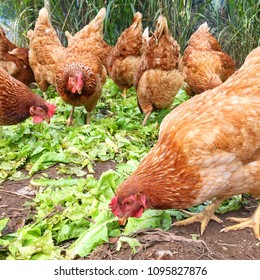 Chickens in organic farm