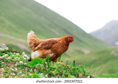 Chickens roam freely in a lush green village near Plateau in Rize, Turkey.