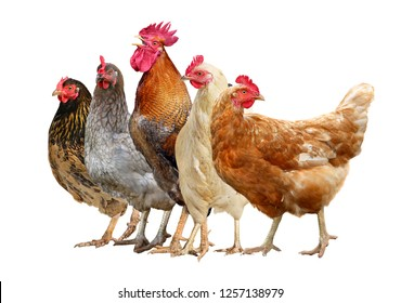 chickens, rooster and hen isolated on white background.
