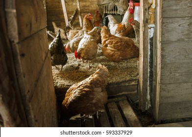 The chickens and roosters in the hen house