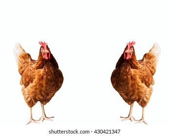 chickens standing on the floor isolated on white background