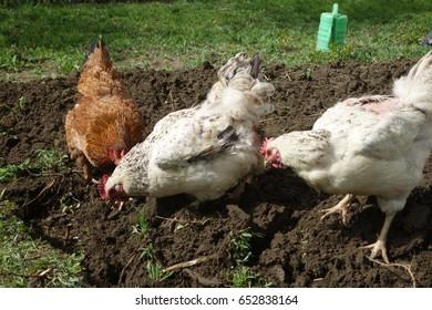 Chickens in village backyard garden in spring