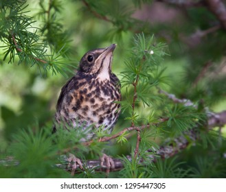Chick-fledglings of the thrush on a branch of larch. Young mistle thrush stood for masking. Russia