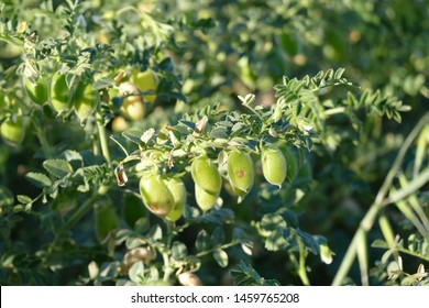 chickpea field, chickpea rust disease, chickpea fungal disease, green chickpea plant,