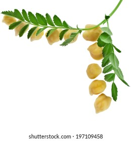 Chickpea plant with seed close up, corner border, isolated on white background