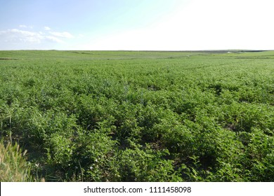 chickpeas, field and flowering chickpeas, plant,