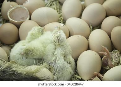 Chicks born egg incubator and animal life