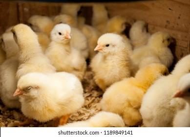 chicks in crowd