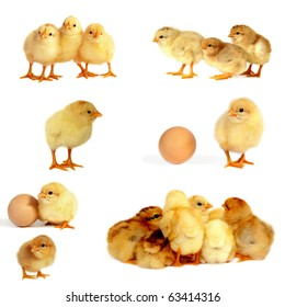 Chicks isolated on white, collage