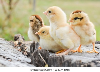 Chicks with nature in the evening.