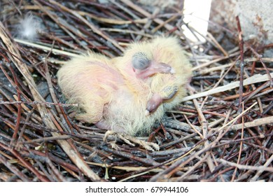 Chicks of the pigeon. Two pieces. In a nest of branches. Sleep on top of each other. shoulder to shoulder. With closed eyes. First birthday. In the middle of the city. Only hatched. Photo