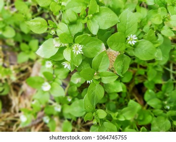 Chickweed, chickenwort, craches, maruns or winterweed, Stellaria media, growing in Galicia, Spain