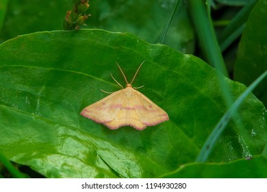 Chickweed Geometer Moth resting on a leaf. Ashbridges Bay Park, Toronto, Ontario, Canada.