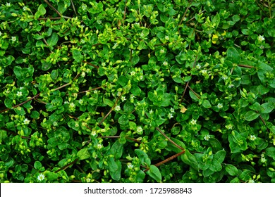 Chickweed ,Stellaria media. Young taste very gently with flavor of nuts. You can use them in fresh vegetable salads. The chickweed advantage is that we have it fresh almost all year round.