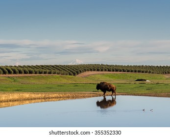 CHICO, CALIFORNIA, USA - FEBRUARY 28, 2015: Lone buffalo reflected in a pond in a rural agricultural area in Northern California