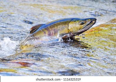 Chico, Washington / USA - Nov. 1, 2009: A chum salmon jumping upstream to spawn in Chico Creek, Chico, Washington, on Nov. 1, 2009.