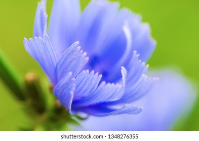 Chicory blue flower blooming in nature, floral background with copy space
