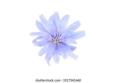 Chicory blue flower plant isolated on white background. Single flower with bright blue petals closeup