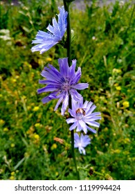 Chicory common - a kind of perennial herbaceous plants of the genus Cykory of the family Astrological