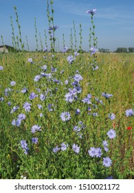 Chicory field. Rustic italian landscape, with blue Cichorium intybus flowers, called as blue sailors, coffee weed, or common succory is herbaceous, perennial plant of the dandelion family Asteraceae.