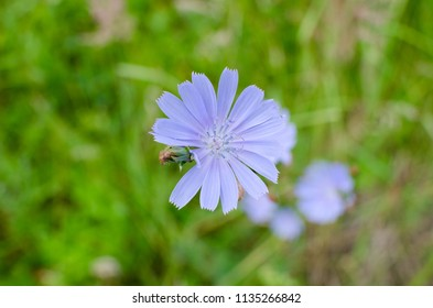 the chicory flower