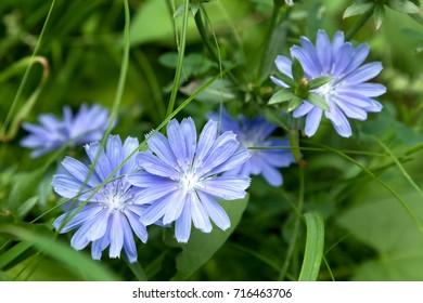 Chicory flower. Chicory.