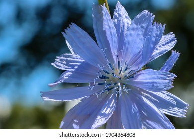 Chicory flower illuminated by the sun, close-up