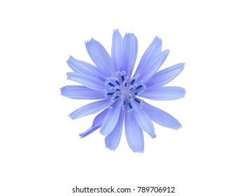 Chicory flower isolated on white background