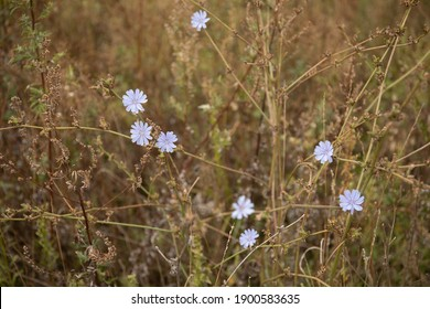 Chicory flower in the meadow grass close up