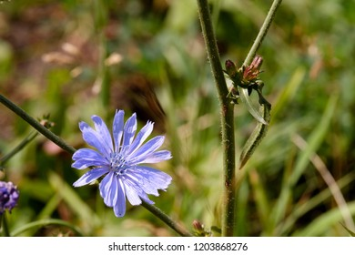 chicory flower on a stem of grass on a summer day bright sun, blue flower on a summer day, plants for tea and creating a drink