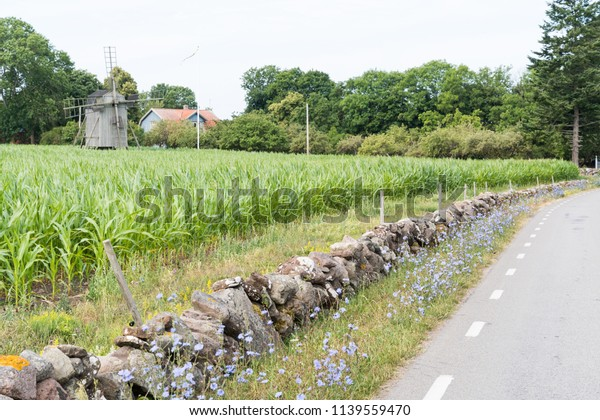Chicory flowers by roadside at the swedish island Oland