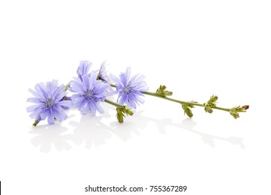Chicory flowers isolated on white. Medicinal herbs. Coffee alternative.