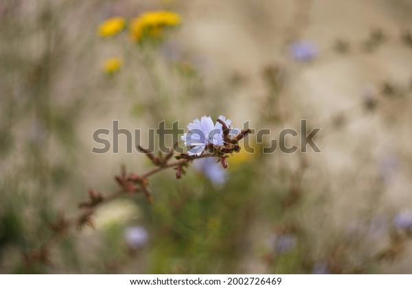 chicory-latin-cichorium-intybus-perennia
