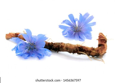 Chicory root and flowers are isolated on white background. Blue flowers of chicory. Chicory root is considered a coffee substitute and is a source of inulin. Inulin is used in the food industry.